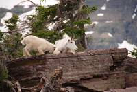 Mountain Goats (2)
