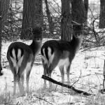 """Two Deers"" by fejesb"