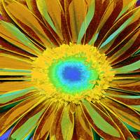 gerber daisy yellow I