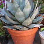 """Agave in Pot"" by Newleaf"
