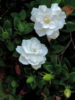 2 Gardenias with 6 Buds