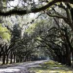 """Sunlight and Shadows on Live Oaks"" by Groecar"