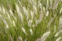 Arizona Grass