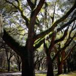 """Sunlight through Live Oaks"" by Groecar"