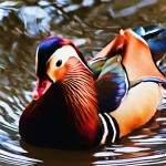 """Mandarin Duck Digital Watercolor"" by johncorney"