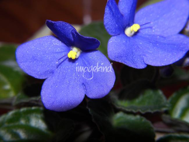 "Stunning ""Blue Violets"" Artwork For Sale on Fine Art Prints"
