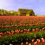 """Tulips and Barn 1"" by RichardDuval"