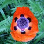 """Orange Poppy Glory"" by legion150"