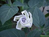 Closed Moonflower