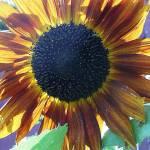 """Sizzling Sunflower"" by legion150"