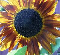 Sizzling Sunflower