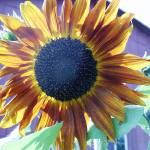 """Sunflowers Again"" by legion150"