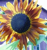 Sunflowers Again