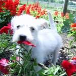"""Westie Mix Puppy in Flowers"" by legion150"