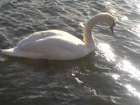 Rutherford the Swan