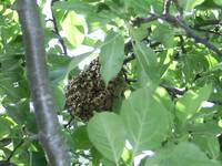 Honey Bee Pre-Nest Hive