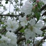 """""""Apple Blossoms"""" by legion150"""