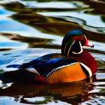 """Wood Duck #2"" by johncorney"
