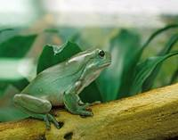 White's Tree Frog Pet
