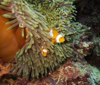 Nemo at home again