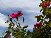 Pink Roses and Sky