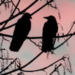 """Crows in Love"" by DavidWerk"