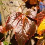 """""""Autumn Leaf"""" by wolf_m"""