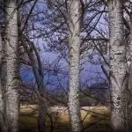 """""""Birch Study"""" by skmiller"""