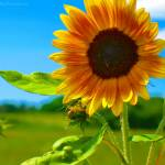 """Pindar Sunflower"" by ladybugimagery"