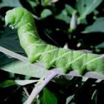 """Posing caterpillar/worm"" by legion150"