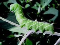 Posing caterpillar/worm