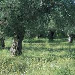 """Olive Trees"" by fizzyimages"