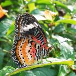 """""""Malay Lacewing Butterfly"""" by fizzyimages"""