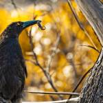 """Black Currawong"" by alecrain"