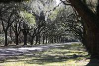 Green Lane with Live Oaks