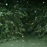 """Spruces in Snow Storm"" by MichaelKarasik"