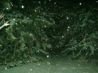 Spruces in Snow Storm