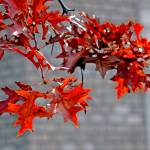 """red leaves in the fall"" by Beauty_By_Photography"