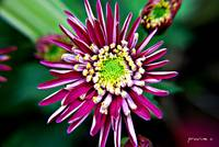 Chrysanthemum Glory