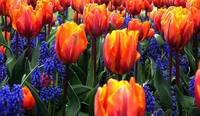 Orange with Blue Tulip