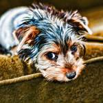 """Yorkie Puppy on the Couch"" by johncorney"
