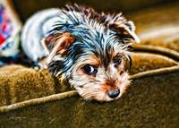 Yorkie Puppy on the Couch