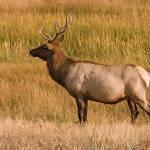 """""""Elk bull"""" by starsofglass"""