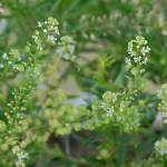 """Common Peppergrass - Lepidium virginicum"" by Xtlman"