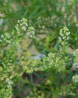 Common Peppergrass - Lepidium virginicum