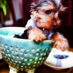 """Pet Art - Yorkie Puppy No2"" by johncorney"