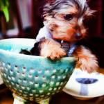 """Pet Art - Yorkie Puppy No2"" by johncorney"