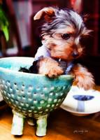 Pet Art - Yorkie Puppy No2