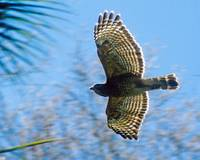 Red Shouldered Hawk Bird Flying