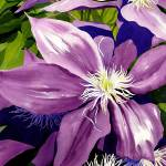 """Purple Clematis in Sunlight"" by janlan44"
